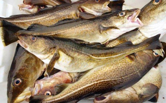 Focus on North Sea cod