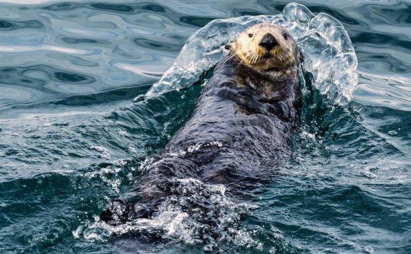 Sea otter, Kenai Fjords