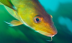 North sea cod stocks, heavily overfished in the 1980s and 1990s, have made a surprise recovery.