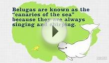 Beluga: Sea Creature Fun Facts