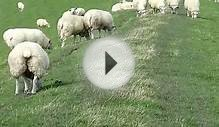 Sheep on bank embankment North Sea - Schafe auf dem Deich